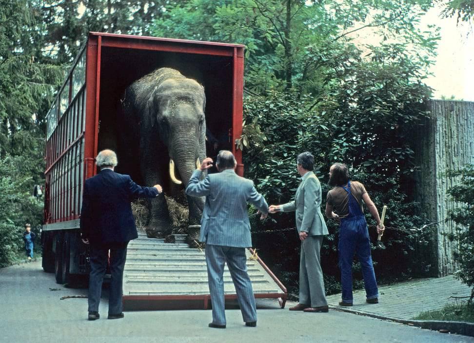 38 Jahre ist es her: Maxi 1981 bei seiner Ankunft im Zoo Zürich. (© Zoo Zürich, Archiv)