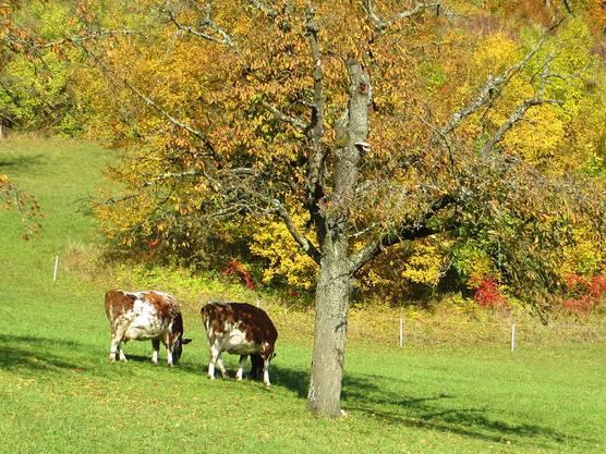 Die Kühe geniessen es auf der Weide.