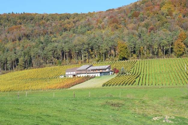 Im Jahre 1946 kelterte die Familie Büchli den ersten eigenen Wein. Mit viel Mut und Zuversicht erweiterte sie die Rebfläche in den Fünfzigerjahren, um ab 1966 voll auf den Weinbau zu setzen. Sibylle und Peter Büchli haben den Betrieb 2008 übernommen und führen ihn nun in der 3. Generation. An Südlage keltern sie ihre Weine inmitten des Effinger Rebbergs, wo sie kürzlich auch ihre neue B-Wyy-Lounge eröffneten: ein Degustaionsraum mit Aussicht aufs Fricktal. Büchl jasst selber auch gerne: «Mit den Kollegen nach dem FC, aber nur zum Plausch.» Weitere Reben pflegen sie in den Nachbardörfern Bözen und Elfingen. Die gesamte Rebfläche beträgt knapp 6 Hektaren und ist grösstenteils mit den traditionellen Rebsorten Pinot Noir und Riesling-Sylvaner bestockt. Weitere Spezialitäten werden aus Zweigelt, Gamaret, Dornfelder, Cabernet Dorsa, Sauvignon Blanc und Gewürztraminer gekeltert.