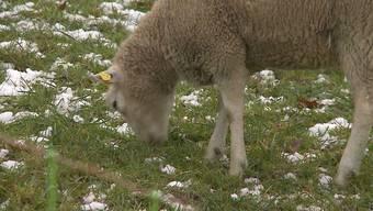 Bei Temperaturen um den Gefrierpunkt sind auf einer Weide in Mägenwil über 150 Schafe am Grasen. Weil die Schafe bei diesen Temperaturen angeblich frieren, wird der Besitzer immer wieder bei den Behörden angeschwärzt.