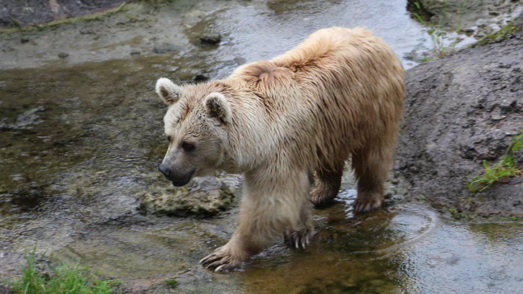 Am Montag hat der Frühling begonnen. Pünktlich dazu hat die Bärin Evi im Natur- und Tierpark Goldau SZ ihr erstes grosses Geschäft nach dem Winterschlaf gemacht. Sie ist gemäss dem Park bereits wieder auf Futtersuche.