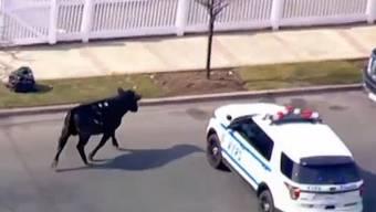 Er wollte nicht ins Schlachthaus: Polizei jagt Bullen durch Queens.