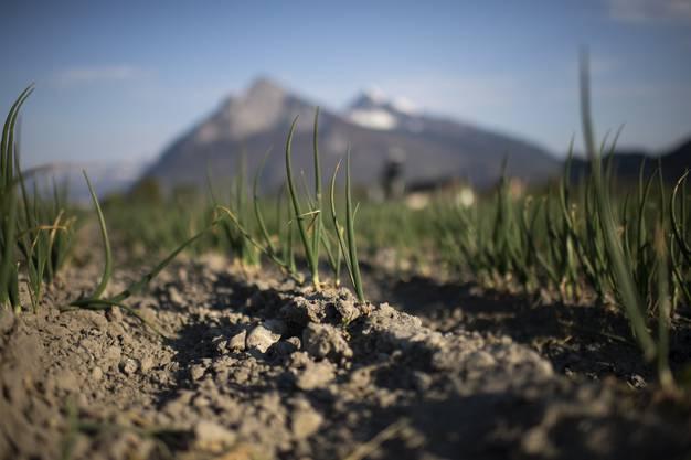 Ein trockenes Feld mit Winterzwiebeln, aufgenommen am Montag, 13. April 2020, in Bad Ragaz. Seit Mitte Maerz hat es in der Schweiz kaum Niederschlaege gegeben. Mehrere Kantone haben bereits Feuerverbote erlassen und in der Landwirtschaft muss bewaessert werden. (KEYSTONE/Gian Ehrenzeller)