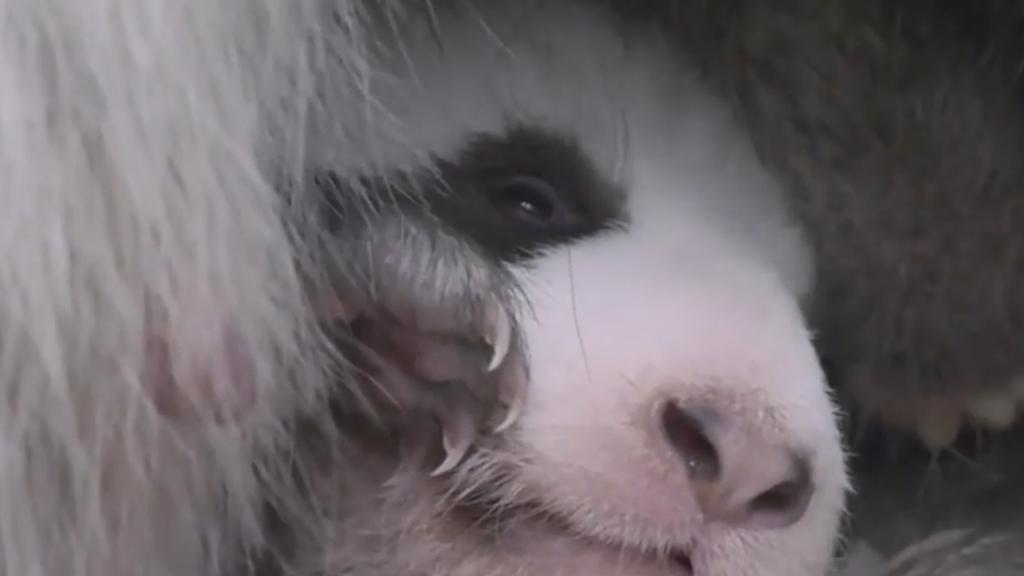 Jöö-Dosis für heute: Wacklige Baby-Pandas