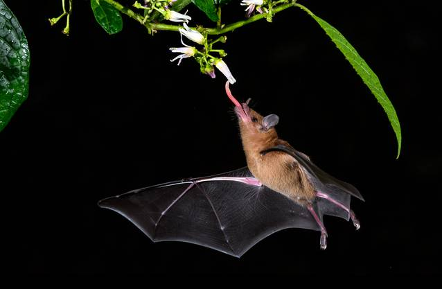Im Schein der Taschenlampe sieht man eine Fledermaus Nektar trinken.