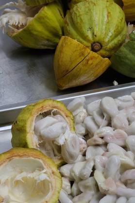 Nach der Ernte: So sieht eine frische Kakaofrucht im Innern aus.