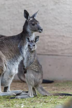 Fünffacher Nachwuchs bei den Kängurus