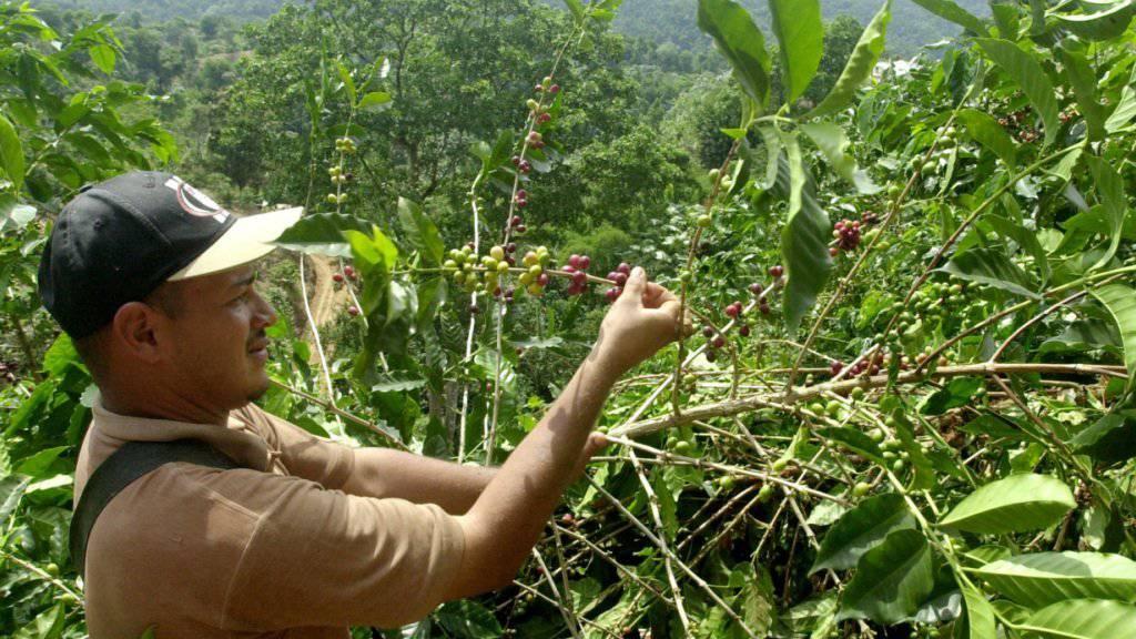 Aus Sicht des Bundesrates eignet sich ein Verbot der Spekulation mit Agrarderivaten nicht dazu, Armut und Hunger zu bekämpfen. Im Bild eine Kaffeeplantage in Puerto Rico. (Archiv)