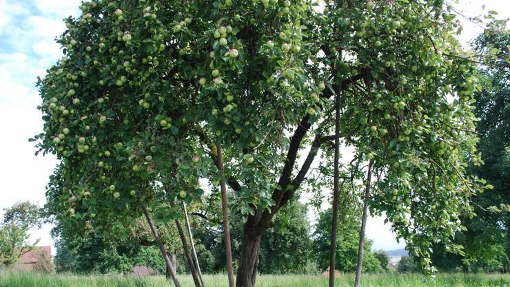Abgestützter Apfelbaum in Beinwil/Freiamt: Hier können die Früchte noch an Gewicht zulegen.  ES Abgestützter Apfelbaum in Beinwil/Freiamt: Hier können die Früchte noch an Gewicht zulegen.  ES