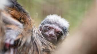 Lisztäffchen-Nachwuchs im Zoo Basel