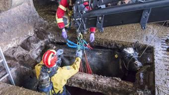In Oberbottigen BE fielen drei Kühe in eine Jauchegrube. Die Berufsfeuerwehr Bern hat sie aus ihrer misslichen Lage befreit.
