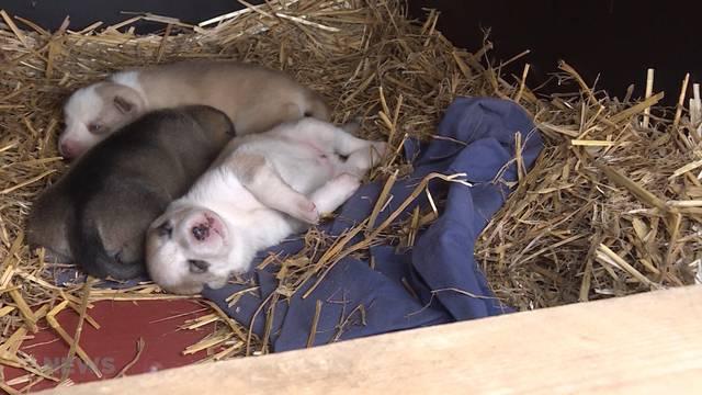Beschlagnahmte Husky's: Sind die Hunde wohl auf?