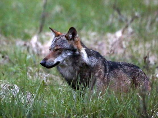 «Wälder und Heiden sind das Habitat der Wölfe. Davon haben wir in der Schweiz und im gesamten Alpenraum genügend», sagt UrsBreitenmoser, Leiter des Vereins Kora. (Archivbild)