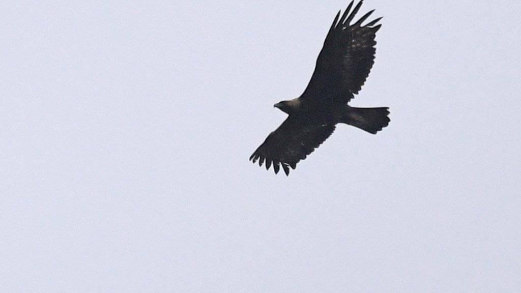 Der Steinadler breitet sich im Jura weiter aus. Hier der im Mai im neuenburgischen Val-de-Travers fotografierte Vogel.