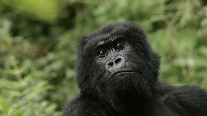 """Die Zahl der Berggorillas hat sich dank Schutzmassnahmen auf über 1000 Tiere erhöht. In der Roten Liste der bedrohten Arten gelten sie nun nur noch als """"stark gefährdet"""". (Archivbild)"""