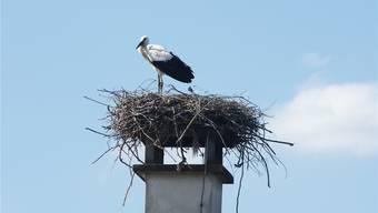 Storch Camino, hier als Jungvogel auf dem «Adler» in Kaiseraugst.