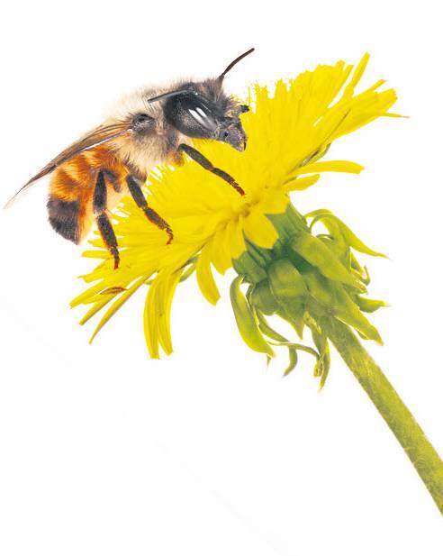 Eine fleissige Helferin bestäubt die Blüte – nur so funktioniert der Kreislauf der Natur.