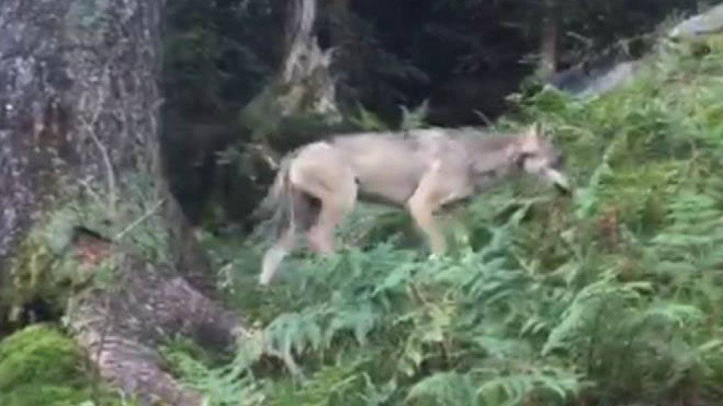 Der Wolf wurde im September oberhalb von Mollis im Kanton Glarus gesehen und gefilmt. (Archivbild)