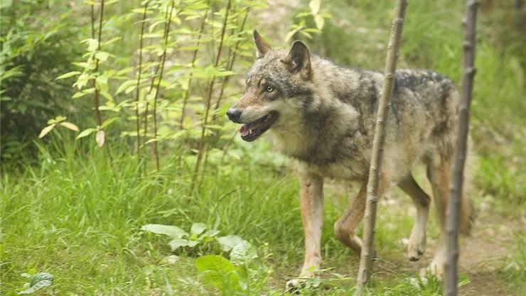 Wölfe suchen immer neue Reviere, auch in der Schweiz.