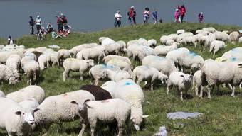 Höhepunkt des Schäferfestes auf der Gemmi war das Zusammentreiben der rund 800 Schafe.