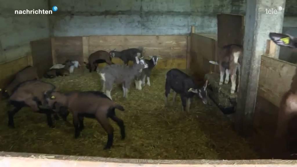 26 junge Ziegen aus Emmentaler Stall verschwunden