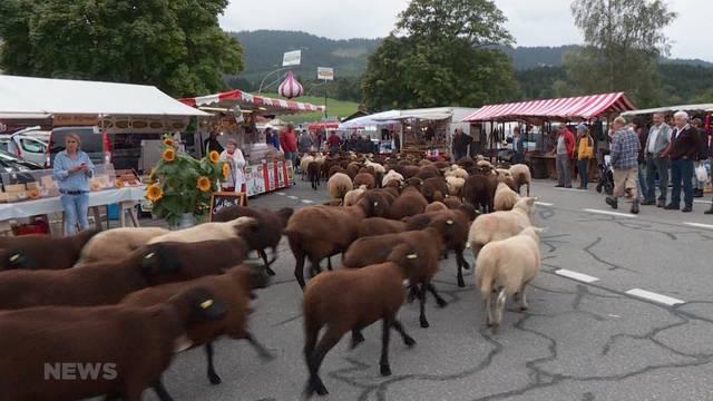 Immer weniger Schafe an der Schafscheid