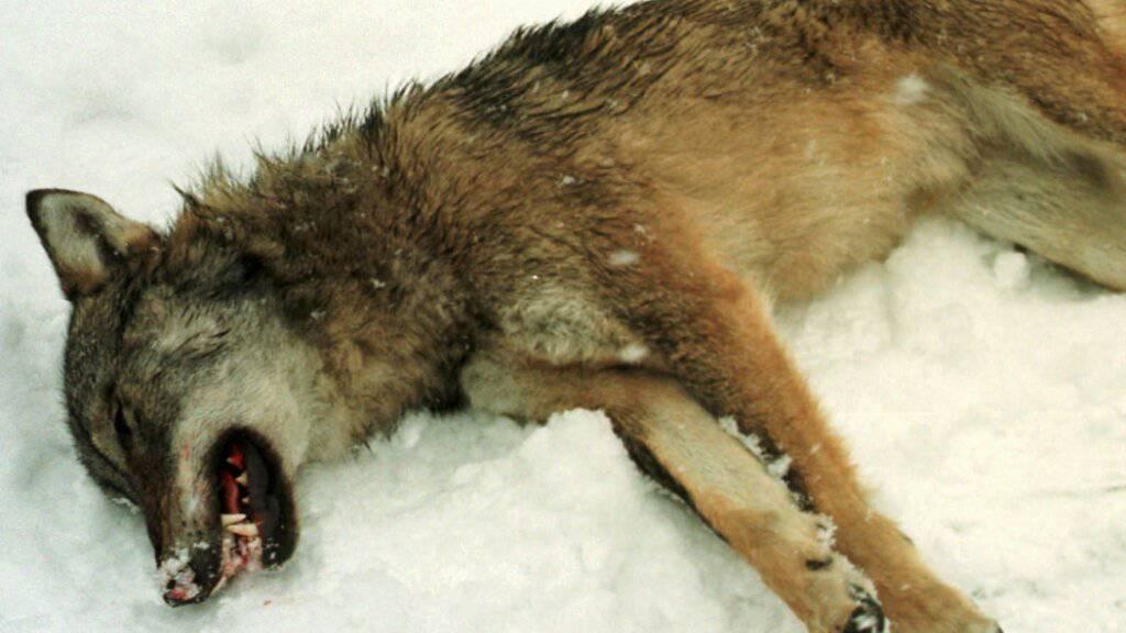 Die Bündner Wildhut hat im Valsertal einen schwerverletzten Wolf erlegt. (Symbolbild)
