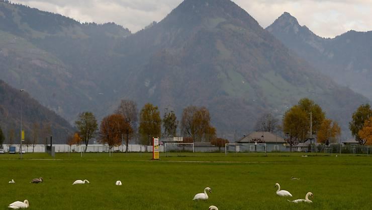 Zu viele Schwäne auf den Wiesen der Allmend in Buochs: Um die Population zu regulieren, bewilligte der Bund dem Kanton Nidwalden, Schwäne abzuschiessen.