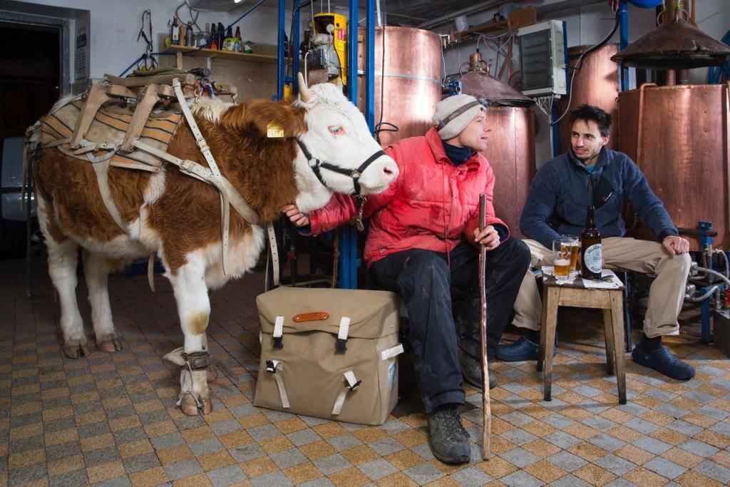 Gaëtan Dubler und Ochse Léo beim Biertransport