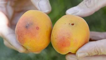 Die Kirschessigfliege greift Obstkulturen an und verursacht grosse Schäden. Agroscope-Fachleute haben nun mit einer neuen Methode mehrere Fressfeinde des Schädlings identifiziert. Dies könnte die Bekämpfung vereinfachen. (Archivbild)