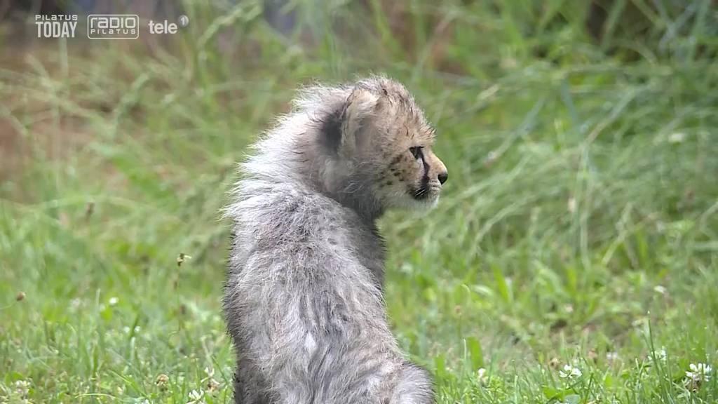 So süss ist der Gepard-Nachwuchs im Zoo Basel