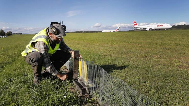 Sandro Stoller, Leiter Wildtiermanagement des Flughafens Zürich, kontrolliert den Mäusezaun entlang der Piste 16. Was in die Falle tappt, gehört dem Fuchs.