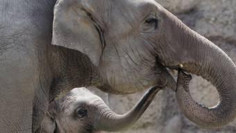 Damit sie sich keine Erfrierungen an den Ohren einholen, dürfen Elefanten in Basel und Zürich nur zeitweise ins Aussengehege. (Archivbild)