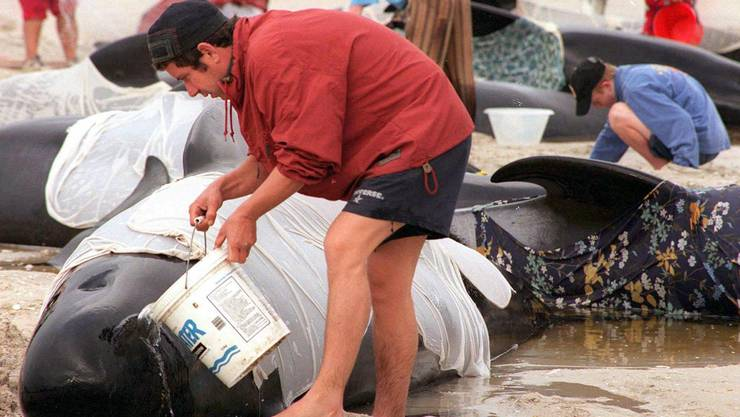 Freiwillige versuchen in Karikari Bay auf Neuseeland gestrandete Pilotwale zu retten.