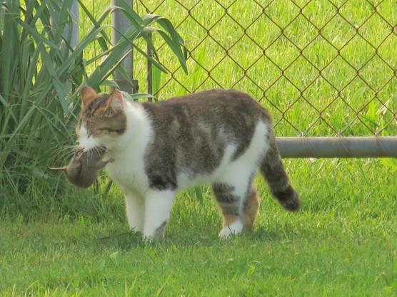Ja, Nachbars Katze bei uns zu Besuch. Mit einer Maus im Schnabel.