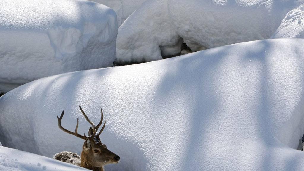 Die Gemeinde Grüsch verschärft den Wildschutz mit einem Betretungsverbot.
