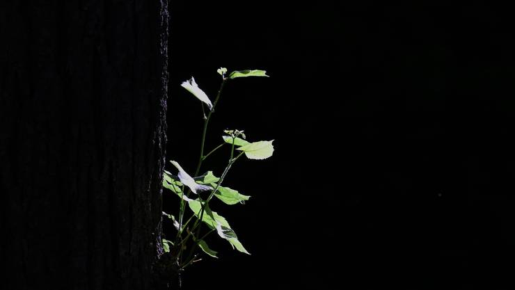 Licht und Schatten: ein Seitentrieb am Stamm eine Linde wird vom Sonnenlicht getroffen.