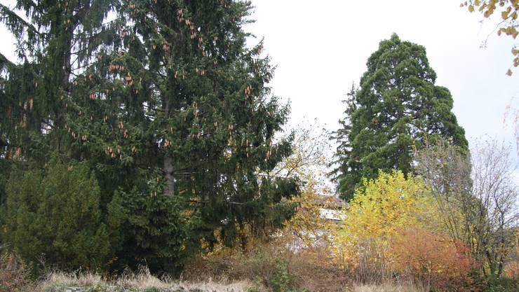 Neben dem Museum Blumenstein steht auf einer Privatliegenschaft ein Mammutbaum.