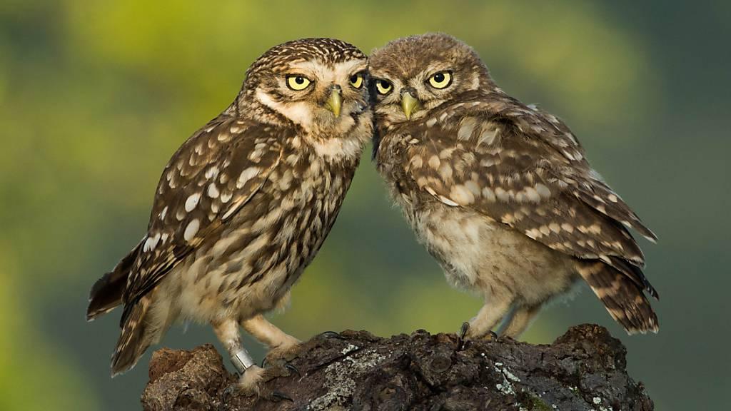 Immer öfter lässt sich dieses Bild in der Schweiz beobachten: ein erwachsener Steinkauz (links) kümmert sich um einen Jungvogel (rechts).