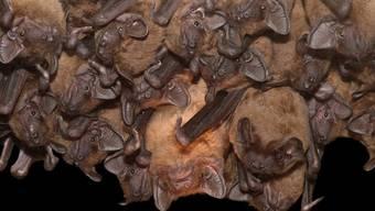 Ein Kolonie von Grossen Abendseglern ist frühzeitig aus dem Winterschlaf gerissen worden, weil man die Fledermäuse irrtümllich für Vögel hielt.