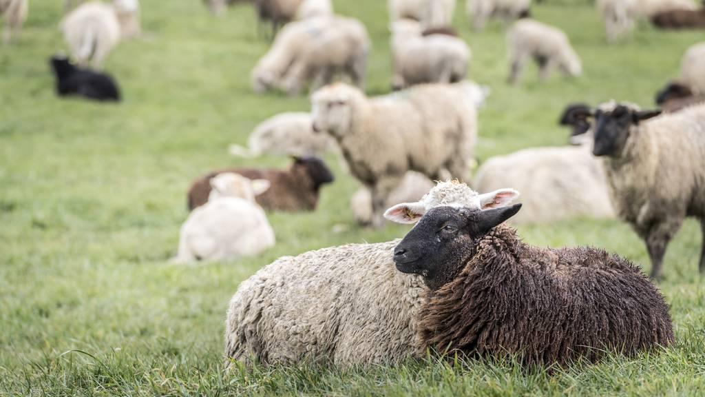 Schafe werden von der Bollenwees verbannt