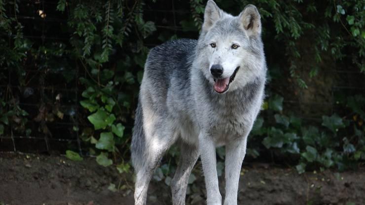 Ein Wolf ist in Bulle und Broc aufgekreuzt. (Symbolbild)