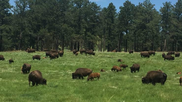 Büffel sind die Attraktion im benachbarten Custer State Park. Bild: dwe