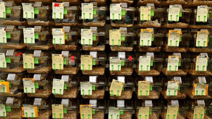 Maus an Maus an Maus. Was in den Augen gewisser Tierschützer keine artgerechte Haltung ist, entspricht modernsten Labor-Standards. Im Bild ein Labor der Universität Basel.