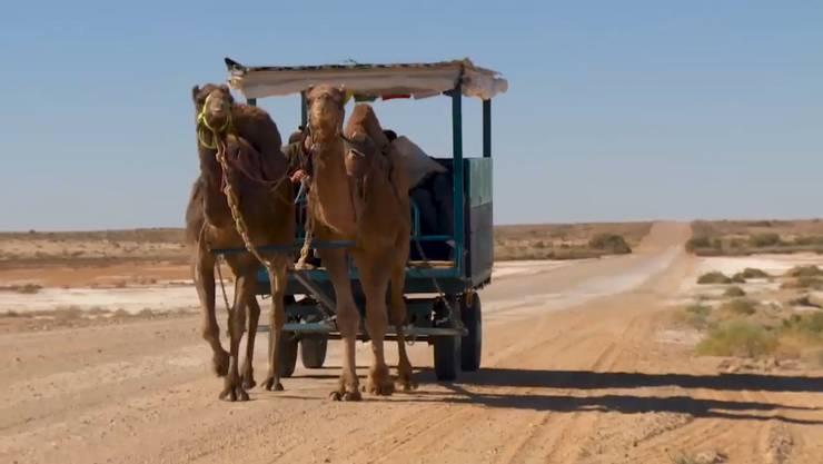 Die wilden Kamele, die ihren Wagen zogen,