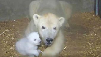 Im Zoo von Rostock wächst derzeit ein kleiner Eisbär auf - Mama Wilma schaut gut zu ihm.