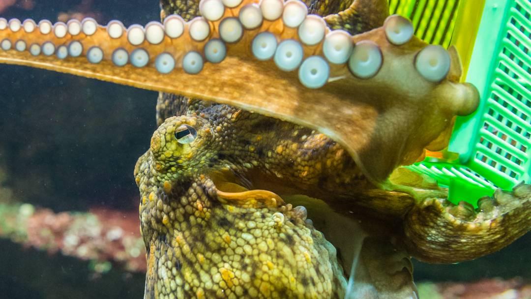 Besonders intelligenter Oktopus im Basler Zolli