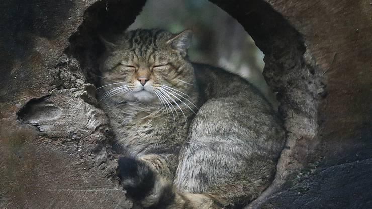 Die europäische Wildkatze breitet sich in der Schweiz wieder aus. Sie unterscheidet sich von der Hauskatze durch ihr dickes braunes Fell und die schwarzen Ringe.