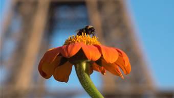 Kleine Stadtindianerin in Aktion: Der Honig von Pariser Bienen sei garantiert frei von Abgasen, sagt ein Imker.