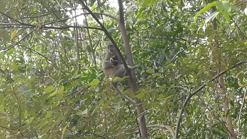 Affe kidnappt Hundewelpe